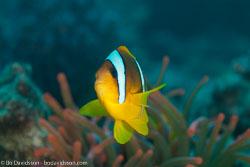BD-120424-Marsa-Alam-6450-Amphiprion-bicinctus.-Rüppell.-1830-[Twoband-anemonefish.-Tvåbandad-clownfisk],-Entacmaea-quadricolor-(Leuckart-in-Rüppell---Leuckart.-1828)-[Bubble-tip-anemone].jpg